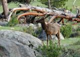 zP1000015 - Elk by fallen tree near Moraine Park in RMNP c7x5.jpg