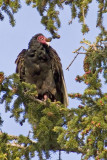 zP1000072 Turkey vulture in roost in Estes Park - front view - hh raw.jpg