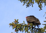 zP1000073 Turkey vulture roosting in Estes Park - left wing view - hh raw.jpg