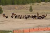 z_MG_4435 Hazed bison near capture facility.jpg