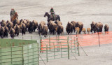 z_MG_4438 Hazed buffalo approach capture pen.jpg