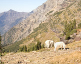 zCRW_3163 Mountain goats at home by Hidden Lake Trail.jpg