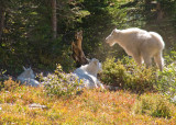 zP1010968 Kid nanny and male mountain goat in Glacier National Park.jpg
