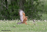 Red-shouldered Hawk Taking Yellow-bellied Watersnake