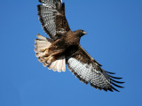 IMG_0568 Red-tailed Hawk.jpg