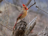 IMG_1993 Northern Cardinal.jpg