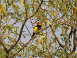 IMG_5265 Western Tanager.jpg
