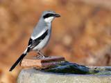 IMG_8343 Loggerhead Shrike.jpg