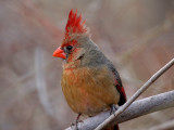 IMG_2046 Northern Cardinal.jpg