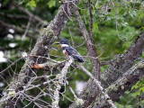 IMG_2449 Belted Kingfisher.jpg