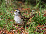 IMG_6592 White-throated Sparrow.jpg
