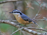 IMG_0097 Red-breasted Nuthatch.jpg
