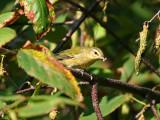 IMG_8556 Tennessee Warbler.jpg