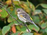 IMG_9101 Yellow-rumped Warbler.jpg