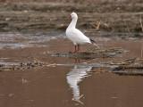 IMG_2603 Ross's Goose.jpg