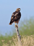IMG_8745 Red-tailed Hawk.jpg