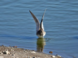 IMG_2313 Long-billed Dowitcher.jpg