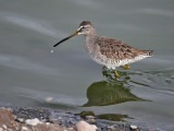 IMG_2510 Long-billed Dowitcher.jpg