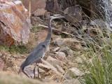 IMG_4262 Great Blue Heron.jpg