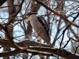 IMG_6423 Black-crowned Night Heron.jpg
