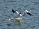 IMG_2335 Snow Geese.jpg