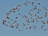 IMG_4751 Snow Geese.jpg