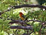 IMG_0058 Flame-colored Tanager.jpg