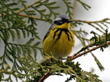 IMG_2314 Magnolia Warbler.jpg