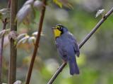 IMG_2586 Canada Warbler.jpg