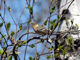 IMG_2230 Bay-breasted Warbler.jpg