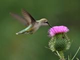 IMG_9318 Ruby-throated Hummingbird.jpg