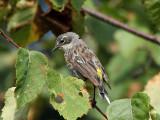 IMG_9302 Yellow-rumped Warbler.jpg