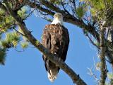 IMG_1191Bald Eagle.jpg