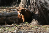 Bear at Sequoia National Park