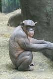 The naked chimp