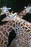 Three long necks