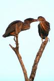 Juvenile Black Crowned Night Herons.