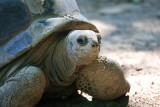 Aldabra Tortoise