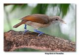King Bird of Paradise