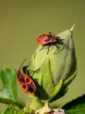 Bud bugs