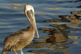 0002f: Pelicans