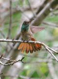 Buff-bellied Hummingbird, 2006.10.15