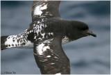 BDU06_3055_Cape-Pigeon.jpg