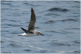 BDU06_3062-Atlantic-Yellow-nosed-Albatross.jpg