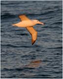 BDU06_3060-Southern-Royal-Albatross.jpg