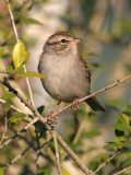 70311_312_Chipping-Sparrow.jpg