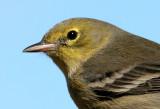 70311_324_Pine-Warbler.jpg