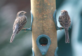 70311_340_Chipping-Sparrow.jpg