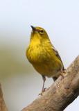 70311_366_Pine-Warbler.jpg