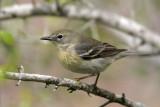 70311_368_Pine-Warbler.jpg